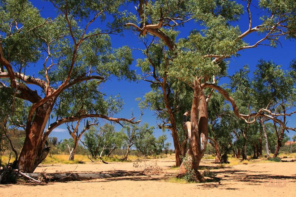 Эвкалиптовая роща в австралии